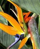 Hawaii Gecko. Stock Photography