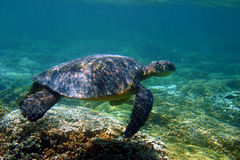 Hawaii Green Sea Turtle Stock Photos