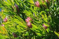hawaii królewiątka protea Zdjęcie Royalty Free