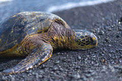 Hawaii Lava Molten Volcano Beaches and Ocean. Green sea turtle on the beautiful landscape of Hawaii Stock Photography