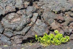 Hawaii lava och gröna växter Arkivfoton