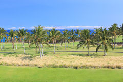 Hawaii Palm Grove Royalty Free Stock Photo