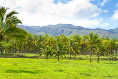 Hawaii Palm Tree Coconut Farm Royalty Free Stock Photo