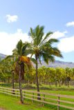 Hawaii Palm Tree Coconut Farm Royalty Free Stock Images