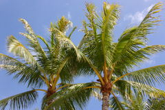 Hawaii Palm Trees Stock Image