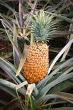 Hawaii - piña madura foto de archivo