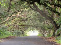 Living Arches of Monkey Pod trees growing over a street on the big island of Hawaii Royalty Free Stock Image