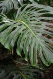 Hawaii plants. Green split leave plant that has rain on it stock image