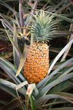 Hawaii - Ripe pineapple Stock Photo