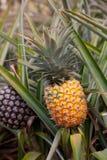 Hawaii ripe pineapple Stock Photography