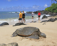 Hawaii Green Sea Turtles. Hawaiian  Green Sea Turtle resting in sun  on beach in Kona, Hawaii. Tourist stand watch to spot more of  the endangered species Stock Photo