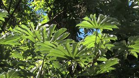 Hawaii tropical leaves in sun. Video of hawaii tropical leaves in sun stock video