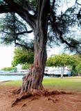 Hawaiiaanse bomen royalty-vrije stock afbeelding