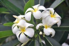 Hawaiiaanse Cluster Plumeria Royalty-vrije Stock Afbeeldingen