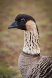 Hawaiiaanse Gans - Nene - Close-up Stock Fotografie