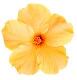 Hawaiiaanse Gele die Hibiscus op wit wordt geïsoleerd Stock Foto's