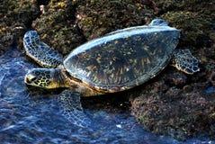 Hawaiiaanse Groene Overzeese Schildpad stock foto's