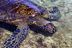Hawaiiaanse Groene Overzeese Schildpad Royalty-vrije Stock Foto's