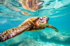 Hawaiiaanse Groene Overzeese Schildpad Royalty-vrije Stock Foto