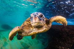 Hawaiiaanse Groene Overzeese Schildpad stock afbeeldingen