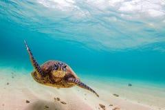Hawaiiaanse Groene Overzeese Schildpad Stock Afbeelding