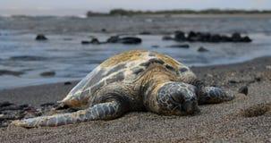 Hawaiiaanse Overzeese Schildpad op het strand stock afbeelding