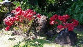 Hawaiiaanse Poinsettia Stock Foto's