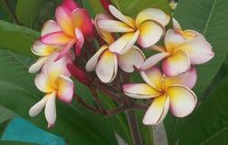 Hawaiiaanse schoonheid Stock Afbeelding