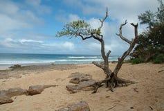 Hawaiian Beach. Barren tree on sandy Hawaiian beach stock photography
