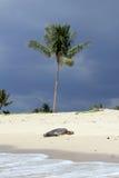 Hawaiian beach with turtle Royalty Free Stock Photo