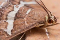 Hawaiian Beet Webworm Moth (Spoladea Recurvalis) Close up Royalty Free Stock Photo