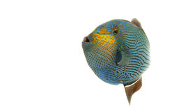 Hawaiian Black Triggerfish Stock Photo