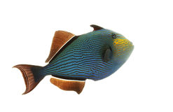 Hawaiian Black Triggerfish Stock Photography