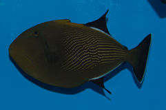Hawaiian Black Triggerfish. The Hawaiian Black Triggerfish, also known as the Indian Triggerfish, or Black-Finned Triggerfish, has a brown body and black fins Royalty Free Stock Images
