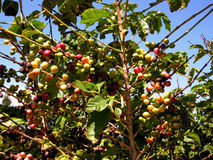 Hawaiian Coffee Plant. Captured on the beautiful Hawaiian island of Molokai stock photography