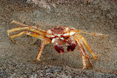 Hawaiian crab Royalty Free Stock Photo
