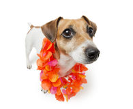 Hawaiian Cute Dog Stock Photos