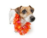 Hawaiian Cute Dog Stock Photos