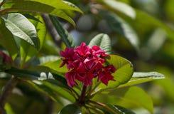 Hawaiian dark red plumeria Royalty Free Stock Photo