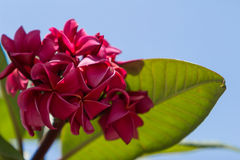 Hawaiian dark red plumeria Royalty Free Stock Image