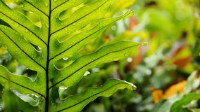 Hawaiian fern. (Polypodium pellucidum) with drops of rain glistening on the leaves.  Spore packets visible on the underside of some leaves Royalty Free Stock Photo