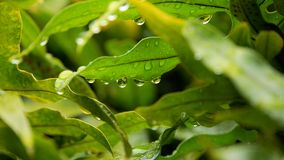 Hawaiian fern. (Polypodium pellucidum) with drops of rain glistening on the leaves.  Spore packets visible on the underside of some leaves Royalty Free Stock Photography