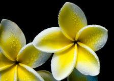 Hawaiian flower Stock Photo