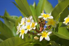 Hawaiian flower Royalty Free Stock Photography