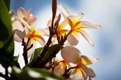 Hawaiian flower Stock Images