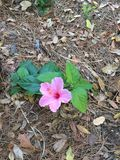 The Hawaiian flower. Growing out of the ground out during springtime royalty free stock photography