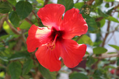 Hawaiian flower. Hawaiian red flower in a terrace royalty free stock photo