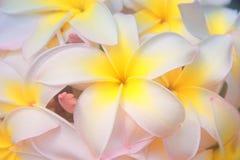 Hawaiian flowers. A photo of Hawaiian tree flowers Royalty Free Stock Photos