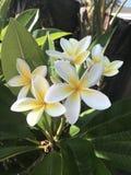 Hawaiian Flowers royalty free stock photo