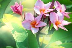 Hawaiian flowers. Tropical Plumeria on  Hawaii Royalty Free Stock Photo